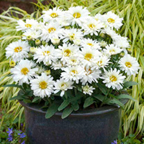 Perennial White/Bicolour Plants - Collection