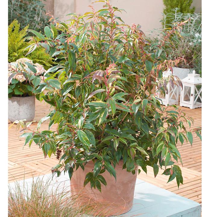 Leucothoe Plant - Rainbow