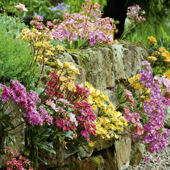 Lewisia Plants - Elise Mix