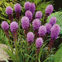 During late summer the long-lasting, lilac-purple, bottle-brush-like flower spike of this perennial will give a great distinctively different appearan