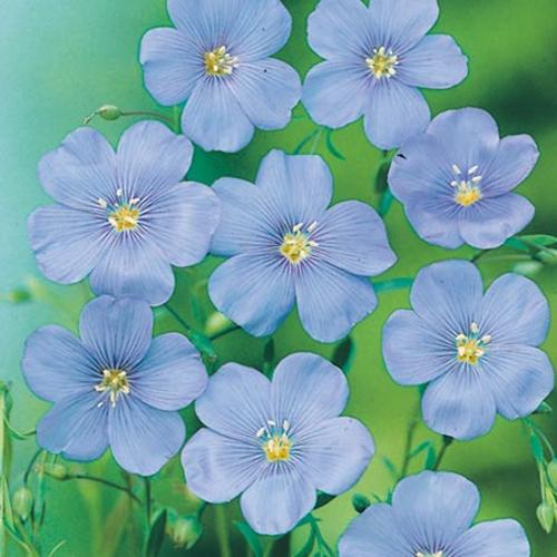 Linum Seeds - Blue Dress