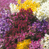 Linaria Plants - Sweeties Mix