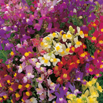 Flowers like little snapdragons in bright colours popular with children. HA Hardy annual. Height 23cm (9).
