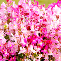 Linaria maroccana Seeds - Pretty in Pink