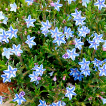 Lithodora diffusa Plant - Blue Star