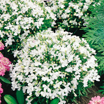 Lobelia Seeds - White Lady