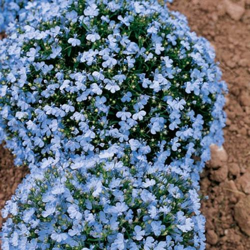 Lobelia Seeds - Cambridge Blue