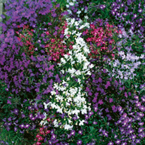 Bushy plants bearing a profusion of flowers in a lovely colour mixture. Compact plants covered with tiny flowers throughout the summer, ideal for tubs