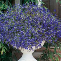 Lobelia Seeds - Sapphire (Blue Basket)