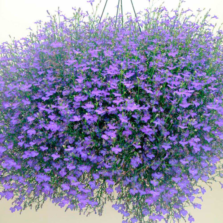 Lobelia Ocean Dark Blue Plants