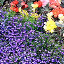 This lobelia is a stalwart of British summer bedding displays, producing dome-shaped plants that become completely engulfed in bloom. Note that each p