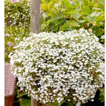 Lobelia Supacoat Seeds - Cascade White
