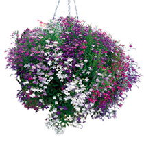 Very interesting mixture in shades of blue, mauve, lilac and red, some with white eyes, and also white. Beautiful colours for hanging baskets. Trailin