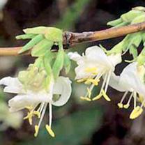 Lonicera fragrantissima Plant