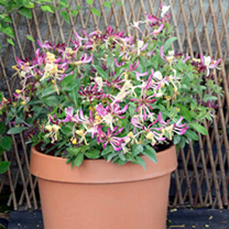 Lonicera Plant - Chic and Choc