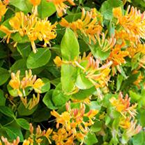 Lonicera henryii Plant - Copper Beauty