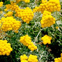For long-lasting fresh or dried cut flower displays. The golden-yellow blooms are reminiscent of small heads of achillea. Loved by butterflies and bee
