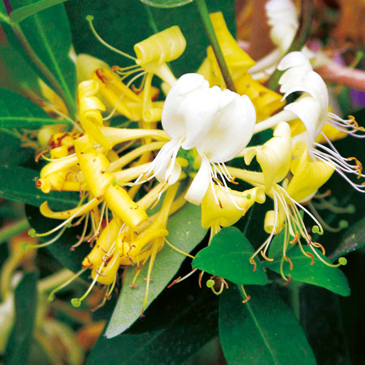 Lonicera Plant - Scentsation
