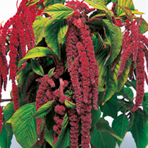 Love-Lies-Bleeding Seeds - Crimson Tassels