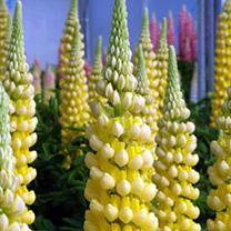 Lupin Plant - Desert Sun