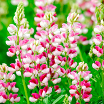 Lupinus Seeds - Avalune Candy Cane Mix