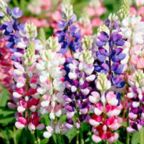 Lupinus Seeds - Avalune Mix