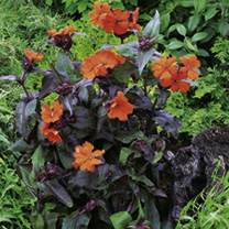 Potted Perennial Plants - Front of Border Collection
