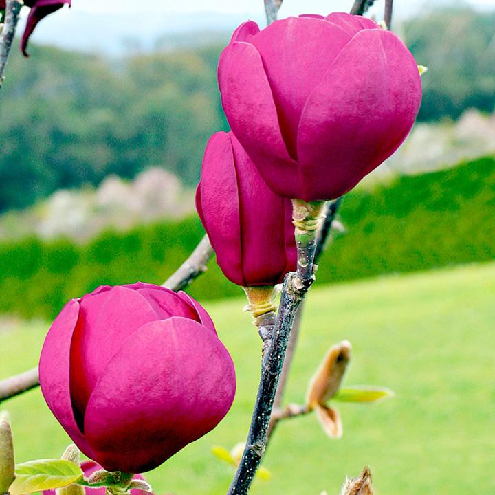Magnolia Plant - Black Tulip
