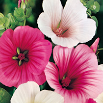 Malope Seeds - Strawberries & Cream Mix