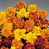 Marigold French Seeds - Summer Loving Mix
