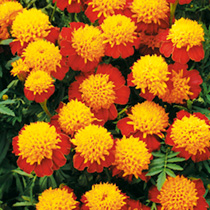 Marigold French Seeds - Cat's Eyes