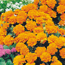 Dwarf, compact plants bearing large crested flowers of soft orange. Easy to grow, extremely popular bushy, weather-tolerant plants for beds, borders a
