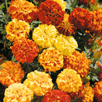 Marigold Afro-French Seeds - F1 Zenith Mix