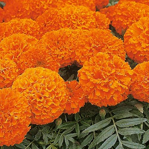 Marigold African Seeds - Space Hopper