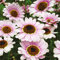 Argyranthemum Plant - Reflection Pink