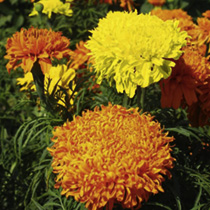 Marigold - African Fantastic Mix Seeds