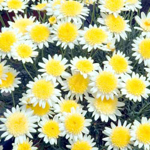 Marguerite Plant - Sole Mio Imp