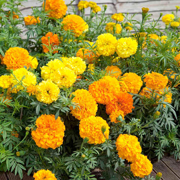 Marigold African Seeds - Crackerjack Mix