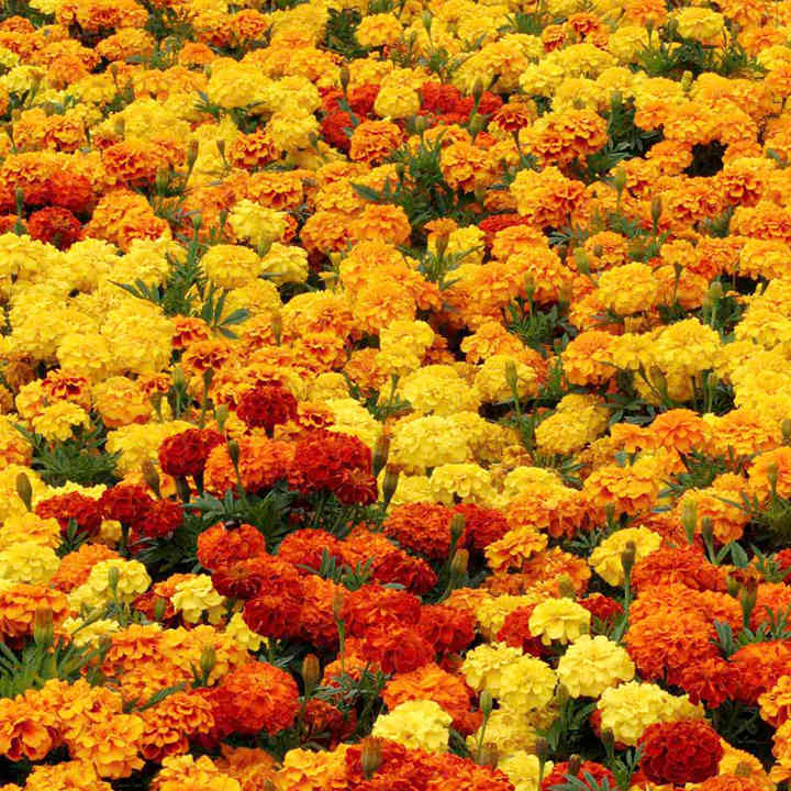 Marigold Afro-French Plants - Zenith Mix