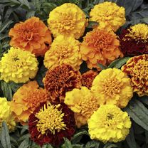 Marigold French Seeds - Cresta Mix