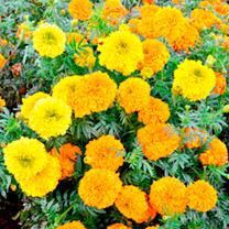 Marigold Indian Seeds - Kushi