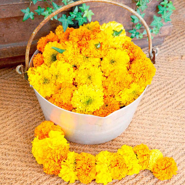 Marigold Plants - Kushi Mix
