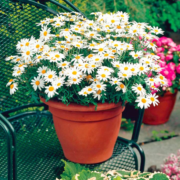 Marguerite Plants - Collection