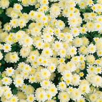 Masses of beautiful creamy-white, chrysanthemum-like flowers. Easy-to-grow plants that will flower all summer. Height 20cm (8). HHA Half hardy annual.