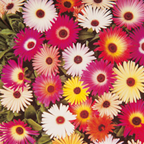 A wide range of brilliant colours, including many attractive bicolour combinations. Dazzling daisy flowers, and small succulent leaves that appear to