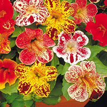 A floriferous mimulus, bearing trumpet-shaped blooms in loads of colours, many with beautiful markings. Ideal for slightly shaded areas of the garden.