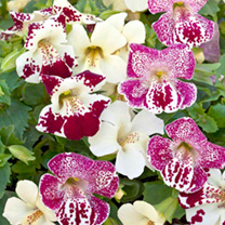 Mimulus Seeds - Magic Spring Blossom Mix