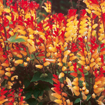 Spectacular, fiery blooms emerge red and change progressively through orange and yellow to white. An unusual and attractive climber, producing numerou