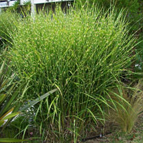 Miscanthus Plant - Miscanthus