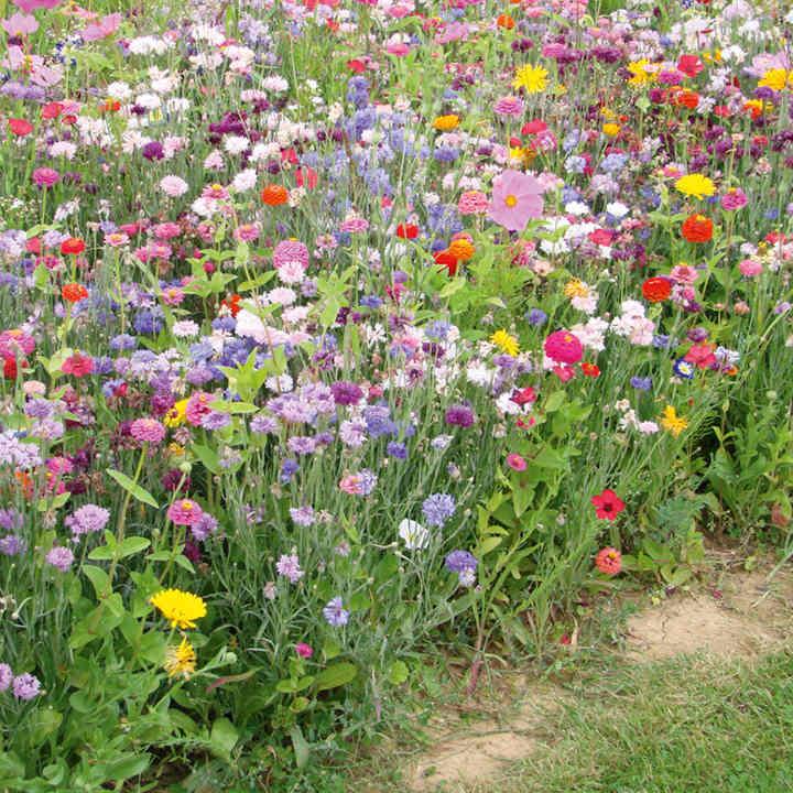 FloralFusions Seeds - La Cenicienta